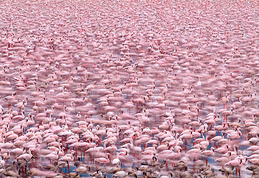 BRD 11 MH0012 01 © Kimball Stock Flock Of Lesser Flamingos Standing In Water