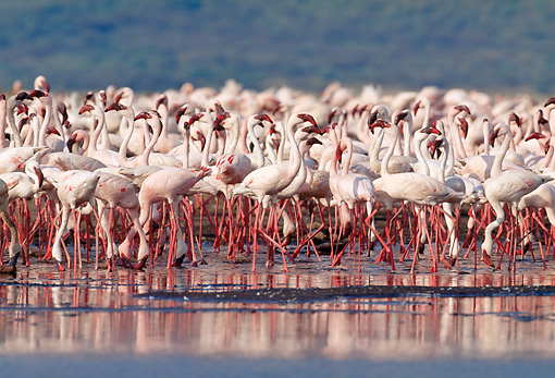 BRD 11 MH0013 01 © Kimball Stock Flock Of Lesser Flamingos Standing In Water