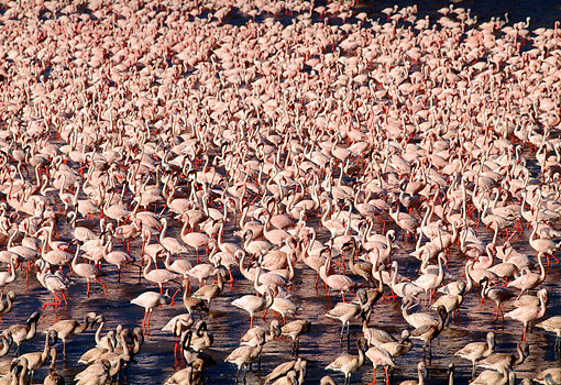 BRD 11 MH0014 01 © Kimball Stock Flock Of Lesser Flamingos Standing In Water