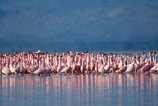 BRD 11 MH0016 01 © Kimball Stock Flock Of Lesser Flamingos Standing In Water