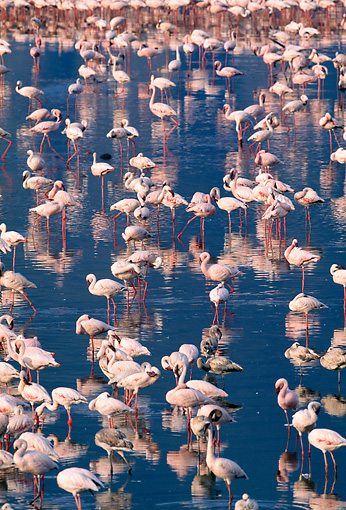 BRD 11 MH0017 01 © Kimball Stock Flock Of Lesser Flamingos Standing In Water