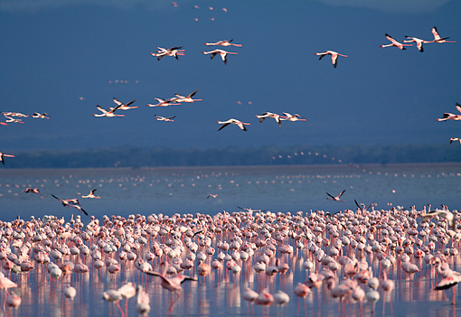 BRD 11 MH0018 01 © Kimball Stock Flock Of Lesser Flamingos Standing In And Flying Above Water