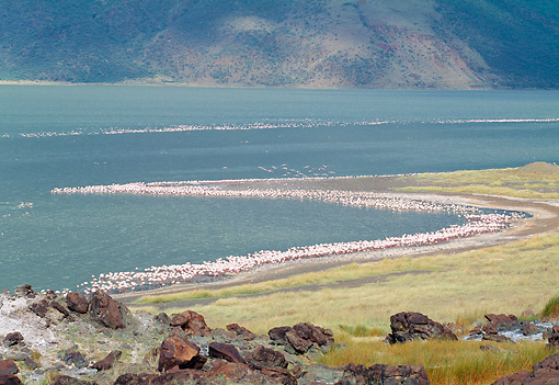 BRD 11 MH0020 01 © Kimball Stock Flock Of Lesser Flamingos Standing On Beach