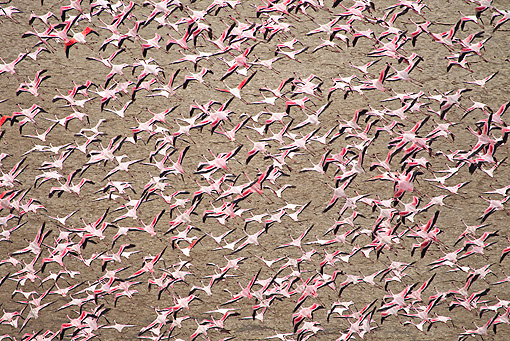 BRD 11 MH0031 01 © Kimball Stock Flock Of Lesser Flamingo Flying Over Lake Magadi Kenya