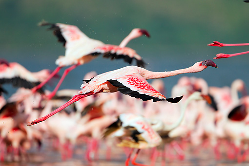 BRD 11 MH0056 01 © Kimball Stock Lesser Flamingos Taking Off Near Flock Lake Bogoria Kenya