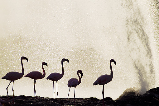 BRD 11 MH0066 01 © Kimball Stock Silhouette Of Lesser Flamingo Standing Near Geyser In Lake Bogoria Kenya