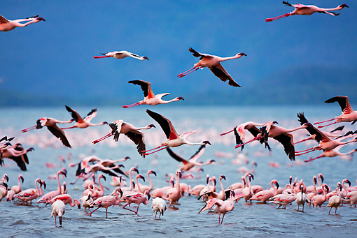 BRD 11 MH0070 01 © Kimball Stock Lesser Flamingos Taking Off From Lake Bogoria, Kenya
