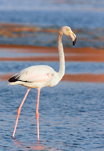 BRD 11 WF0001 01 © Kimball Stock Young Greater Flamingo Standing In Shallow Water
