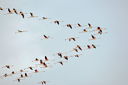 BRD 11 WF0002 01 © Kimball Stock Flock Of Greater Flamingo Flying In Formation