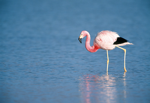 BRD 11 WF0003 01 © Kimball Stock Andean Flamingo Wading In Lagoon Bolivia