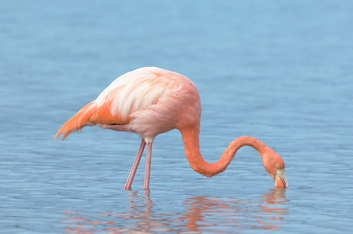 BRD 11 NE0002 01 © Kimball Stock American Flamingo Standing In Water Feeding