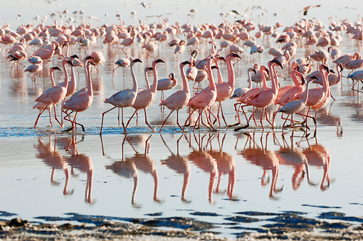 BRD 11 NE0006 01 © Kimball Stock Flock Of American Flamingos Wading In Water