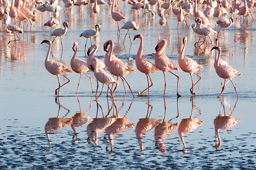 BRD 11 NE0007 01 © Kimball Stock Flock Of American Flamingos Wading In Water