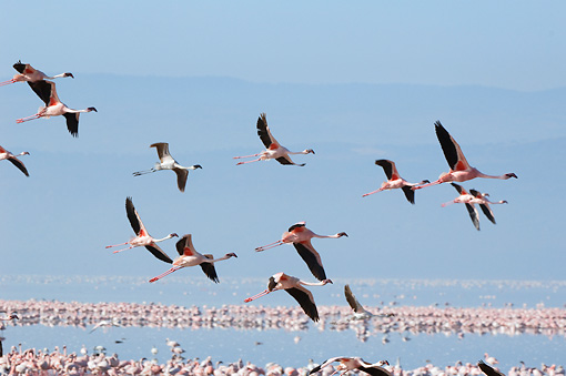 BRD 11 NE0010 01 © Kimball Stock Flock Of American Flamingos Flying Over Water