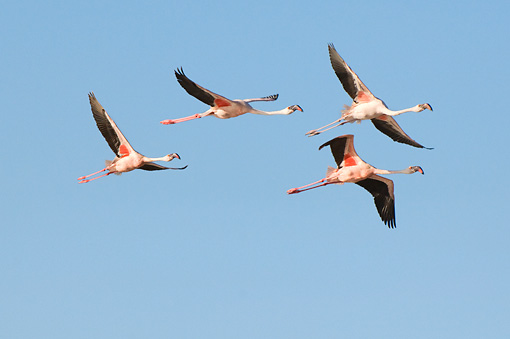 BRD 11 NE0012 01 © Kimball Stock Four American Flamingos Flying