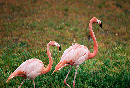 BRD 11 RK0009 01 © Kimball Stock Two Flamingoes Standing On Grass