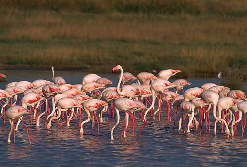 BRD 11 TL0001 01 © Kimball Stock Flock Of Flamingoes Feeding In Shallow Water