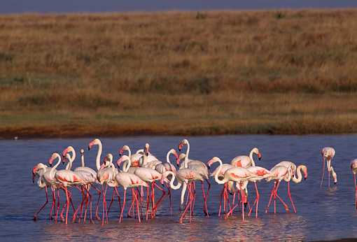 BRD 11 TL0002 01 © Kimball Stock Flock Of Flamingoes Standing In Shallow Water