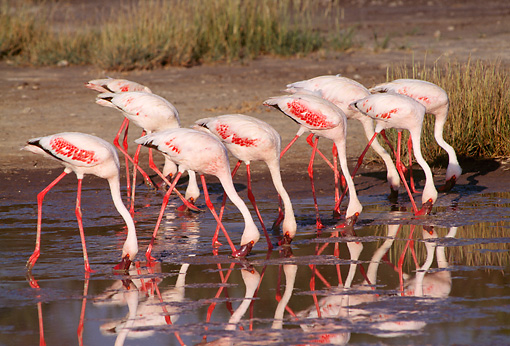BRD 11 TL0003 01 © Kimball Stock Row Of Flamingoes Feeding In Shallow Water