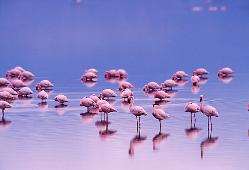 BRD 11 TL0005 01 © Kimball Stock Flock Of Flamingoes Resting And Feeding In Shallow Water