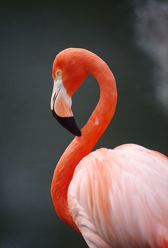 BRD 11 TL0006 01 © Kimball Stock Portrait Profile Of Flamingo With Dark Background