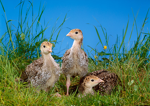 BRD 12 KH0001 01 © Kimball Stock Three Turkey Chicks Standing And Sitting In Grass
