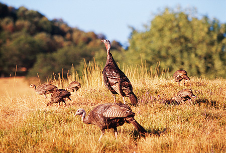 BRD 12 RK0003 02 © Kimball Stock A Flock Of Wild Turkeys Standing On Dry Grass