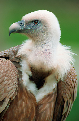 BRD 13 AC0009 01 © Kimball Stock Portrait Of Griffon Vulture