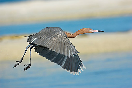 BRD 13 AC0055 01 © Kimball Stock Reddish Egret Flying In Florida, USA