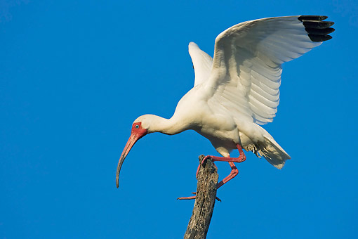 BRD 13 AC0056 01 © Kimball Stock American White Ibis Perching On Tree In Florida, USA
