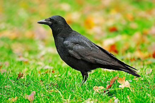 BRD 13 AC0060 01 © Kimball Stock Carrion Crow Standing In Grass