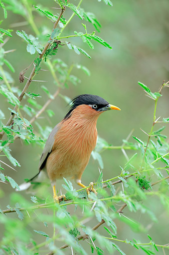 BRD 13 AC0065 01 © Kimball Stock Brahminy Myna (Or Brahminy Starling Or Black-Headed Starling) Perching In Tree At Keoladeo Ghana National Park, Rajasthan, India