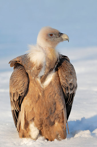 BRD 13 AC0068 01 © Kimball Stock Griffon Vulture Standing In Snow