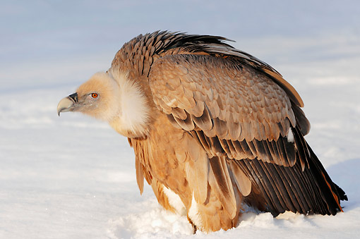 BRD 13 AC0069 01 © Kimball Stock Griffon Vulture Standing In Snow