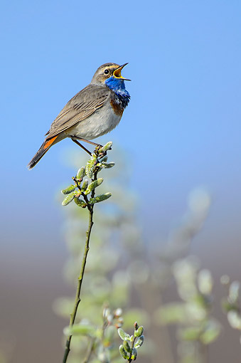 BRD 13 AC0076 01 © Kimball Stock Bluethroat Singing In Lower Saxony, Germany