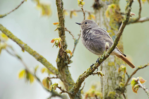 BRD 13 AC0078 01 © Kimball Stock Black Redstart Perching In Mossy Tree