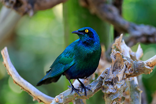 BRD 13 AC0081 01 © Kimball Stock Greater Blue-Eared Glossy Starling Perching In Tree, Kruger National Park, South Africa