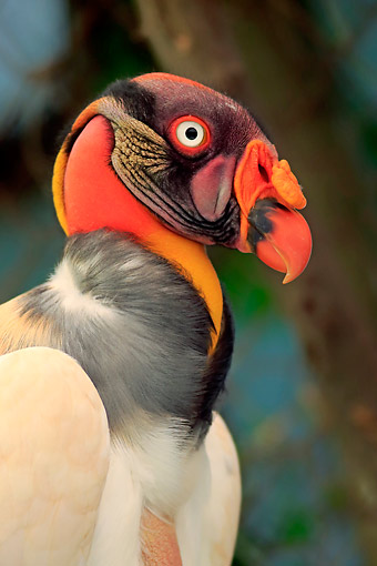 BRD 13 AC0082 01 © Kimball Stock King Vulture Portrait, South Africa