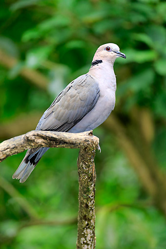BRD 13 AC0084 01 © Kimball Stock African Collared Dove Perching In Tree, North Africa