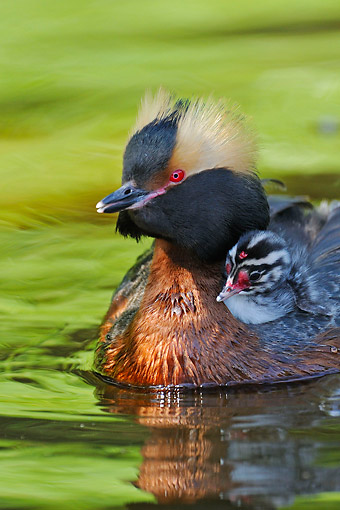 BRD 13 AC0085 01 © Kimball Stock Horned Grebe (Slavonian Grebe) Swimming With Chick On Back, Sweden
