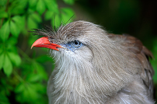 BRD 13 AC0091 01 © Kimball Stock Red-Legged Seriema (Also Called Crested Cariama) Portrait