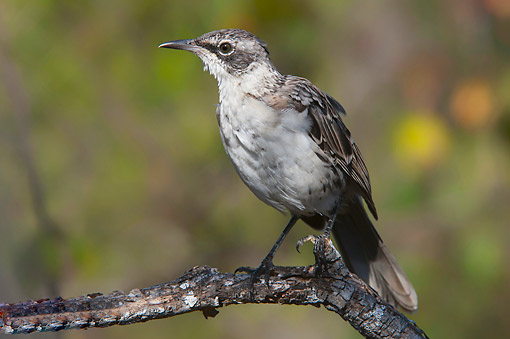 BRD 13 AC0094 01 © Kimball Stock Galapagos Mockingbird Standing On Branch