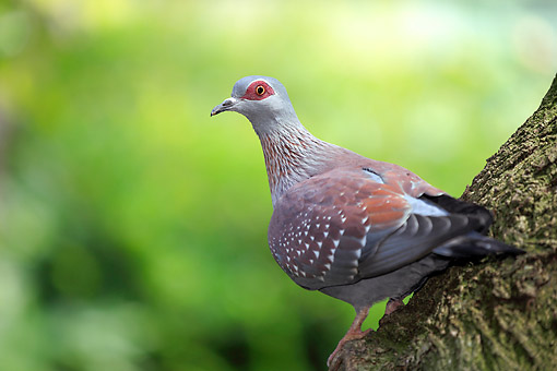 BRD 13 AC0097 01 © Kimball Stock Red-Eyed Dove Standing On Tree In South Africa