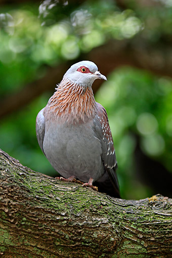 BRD 13 AC0098 01 © Kimball Stock Red-Eyed Dove Standing On Tree In South Africa