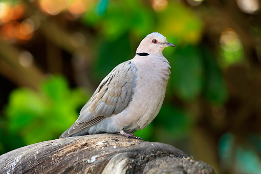 BRD 13 AC0099 01 © Kimball Stock Cape Turtle Dove Standing On Tree In South Africa