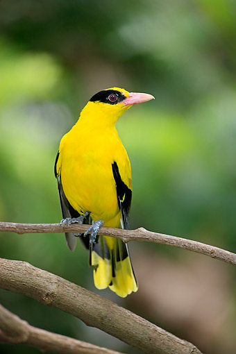 BRD 13 AC0104 01 © Kimball Stock Black-Naped Oriole Perching On Branch, East Asia