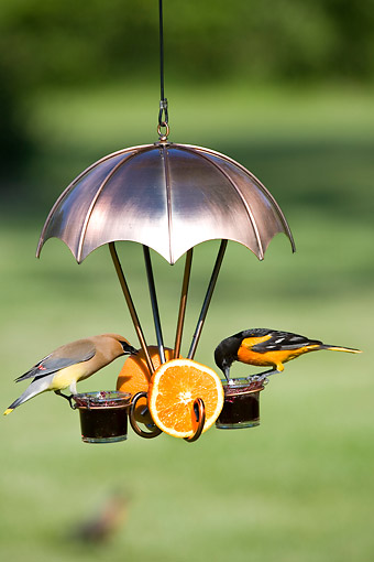 BRD 13 DA0001 01 © Kimball Stock Baltimore Oriole And Cedar Waxwing Feeding At Jelly Feeder