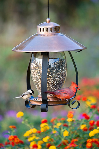 BRD 13 DA0002 01 © Kimball Stock Carolina Chickadee And Northern Cardinal Male Perched On Copper Lantern Feeder