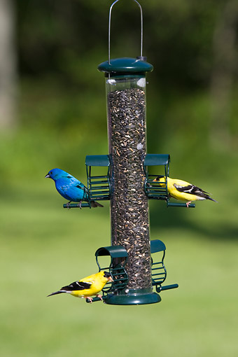 BRD 13 DA0003 01 © Kimball Stock American Goldfinches And Indigo Bunting Perched On Sunflower Tube Feeder