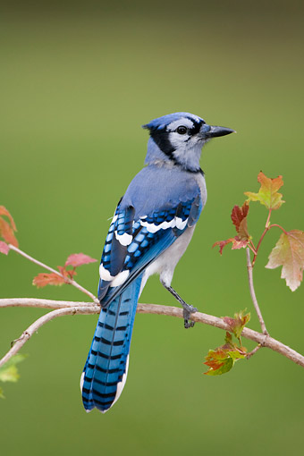 BRD 13 DA0008 01 © Kimball Stock Blue Jay Perched On Twig